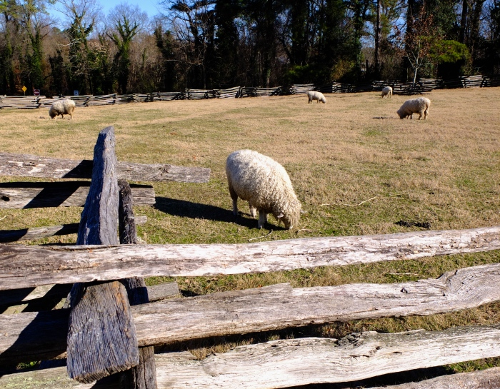 Sheep living in  Williamsburg just a few minutes walk from campus