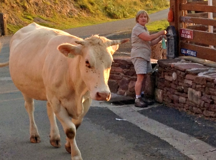Not everyone is comfortable with cows - France