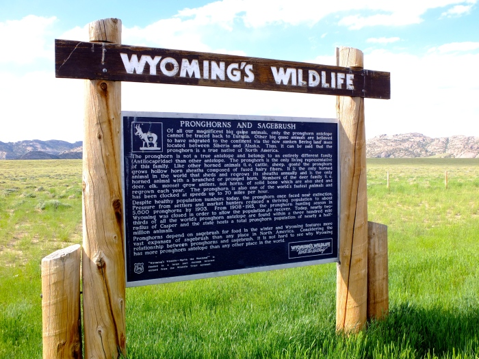 Eighty percent of Americas pronghorns live with 300 miles of Casper Wyoming