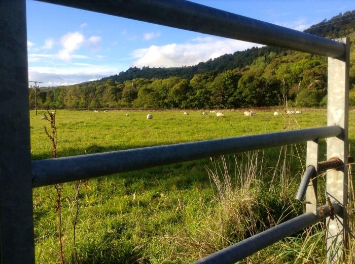 Sheep grazing near Glenn Coe - Scotland
