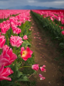 Tulips of Skagit County WA