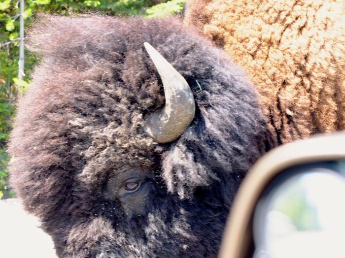 Bison Yellowstone Park